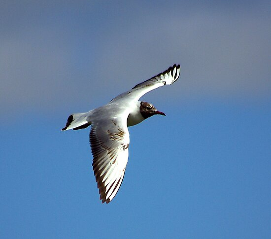 Black Headed Gull by Trevor Kersley