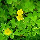 Yellow Wood-Sorrel by DottieDees