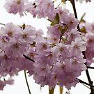 Pink Blossom by Steve plowman