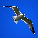 Common Gull #2 by Trevor Kersley