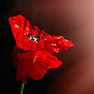 Red poppy 2 by ColourCottage