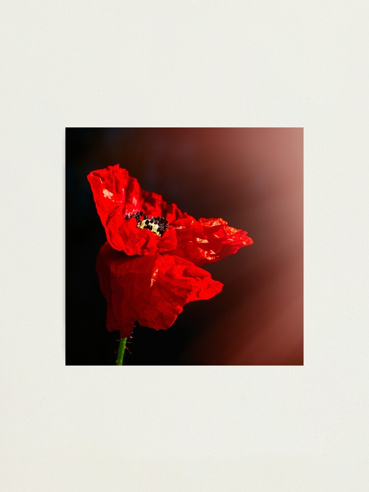 Alternate view of Red poppy 2 Photographic Print