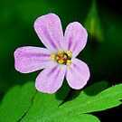 Herb Robert by Nancy Barrett
