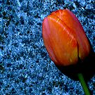 A Single Tulip by DesignsByDeb