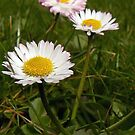Lawn Daisies. by mariarty