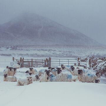 Sugar Loaf Sheep by shaymurphy