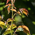New Rose Leaves Leith Park Victoria 20171207 1867  by Fred Mitchell