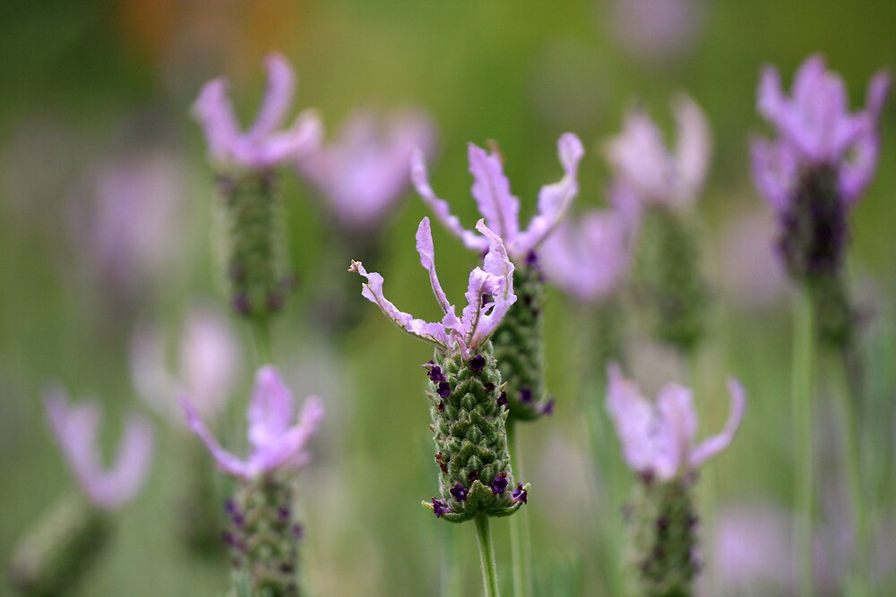 Lavender Bokeh by Geoff Smith