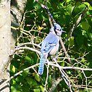 Blue Jay Birdy by Leslie Patton