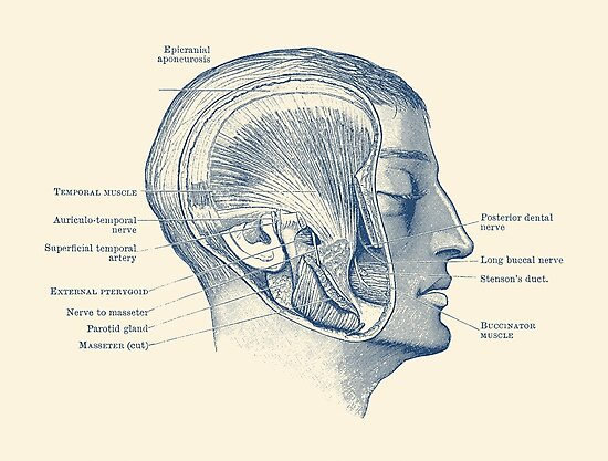 Láminas fotográficas «Diagrama Muscular Facial - Anatomía Vintage ...