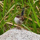Superb Fairy Wren - Female by Ray Fowler