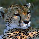 Cheetah by David Clarke