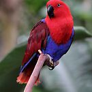 Ruby the Parrot by Tracy Friesen