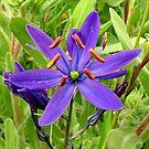 Wild Hyacinth by AnnDixon