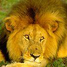 Simba of the Mara by Nancy Barrett