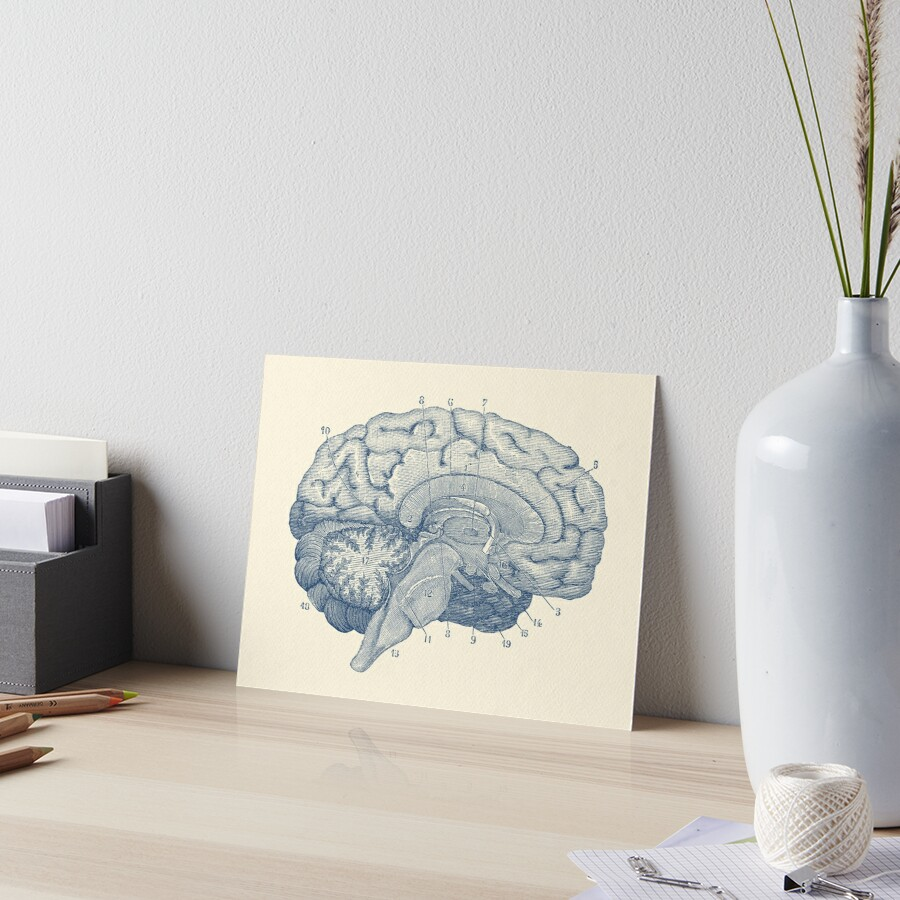Láminas de exposición «Diagrama de la anatomía del cerebro humano ...