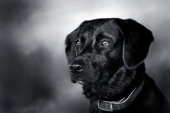 Black Lab Portrait - in Black & White by Renee Dawson