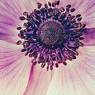 Anemone one Saturday morning. by alan shapiro