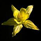 Yellow Colombine by John Dalkin