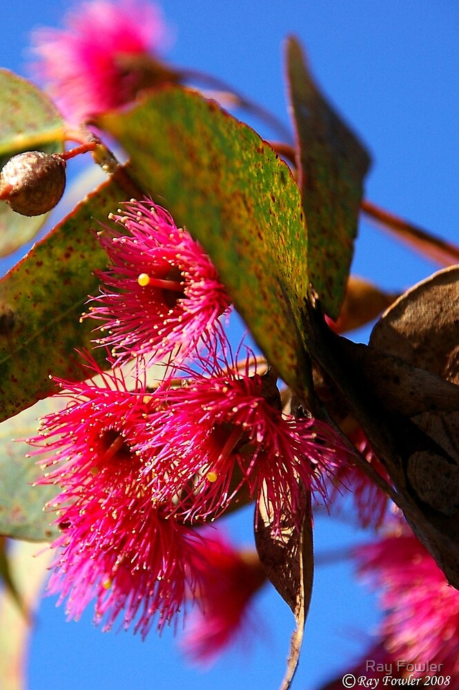 Eucalypt Flower by Ray Fowler