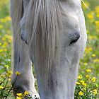 Weiße Pferd Nahaufnahme von TJ Baccari Photography