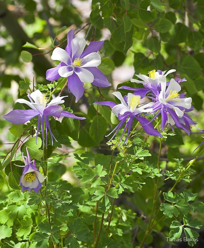 State Flower, Colorado by Tamas Bakos