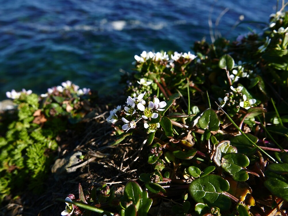 Common Scurvygrass (Cochlearia officinalis) by IOMWildFlowers