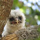 Baby Barred Owl by enyaw
