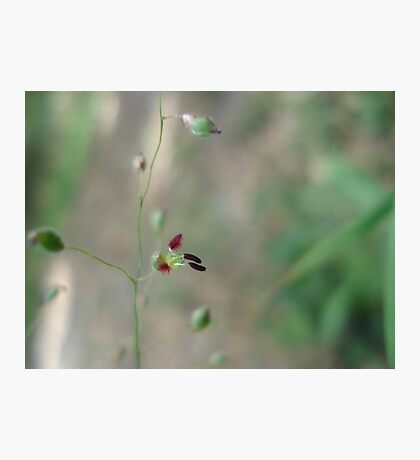 Love Grass Flower (Eragrostis) Photographic Print