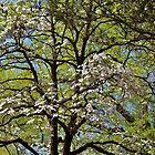 Flowering Dogwood by Cynthia48
