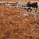 Chameleon Longhorn by Jenny Miller