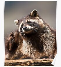 racoon (lat. Procyon lotor) Poster