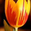 Birthday tulip by Trish Peach