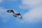 Osprey Hawk by Lynda   McDonald