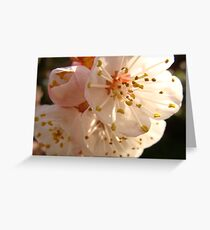 Apricot Blosoms Spring 2009 Greeting Card