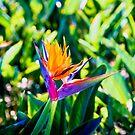 Tropical Bird of Paradise flower by faithie