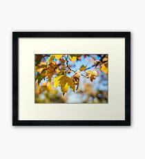 Yellow autumn leaves against blue sky Framed Print