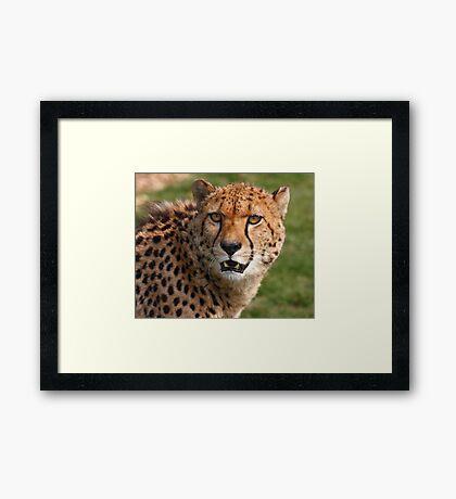 Cheetah 3 Framed Print