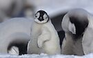 Half Asleep Emperor Penguin Chick - Snow Hill Island  by Steve Bulford