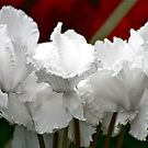 White Cyclamen by autumnwind