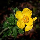 Wood Poppy - April 2018 by cclaude
