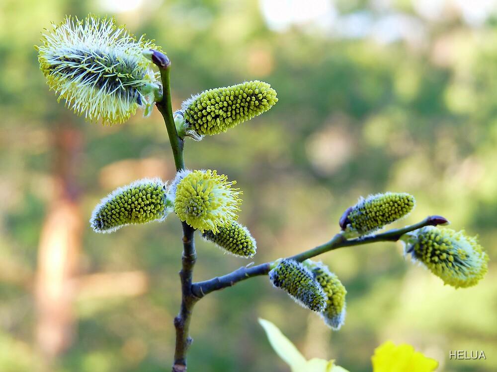 Salix Blossoms by HELUA