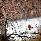 Red Bird in the Snow by believer9