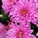 Hübsche Rosa Dahlien von BlueMoonRose