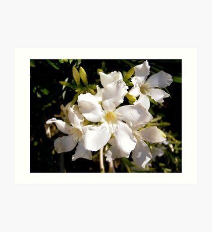 White oleanders Art Print