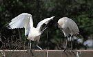 Juvenile Australian White Ibis Feeding by Carole-Anne