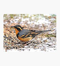 Handsome Male Varied Thrush Amid Snow and Seed Photographic Print