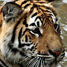 Tiger by Deon de Waal