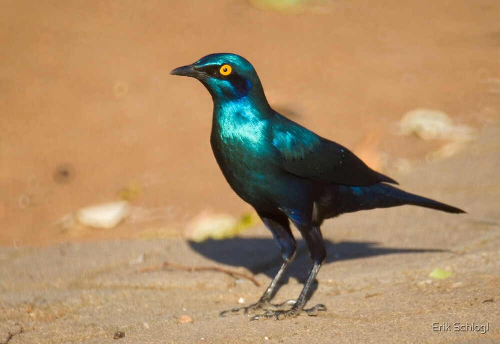 Greater Blue-eared Starling by Erik Schlogl