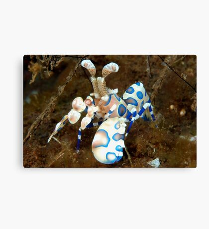 Harlequin Shrimp Canvas Print